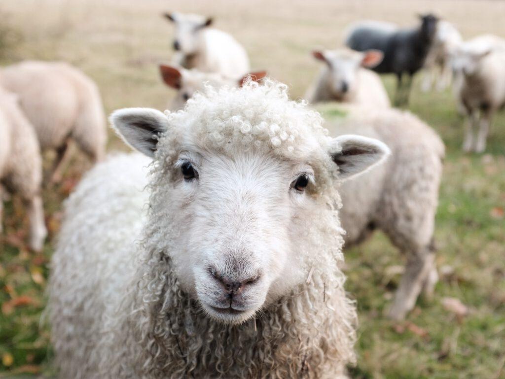 Ich bin mehr als nur ein Woll-Lieferant!